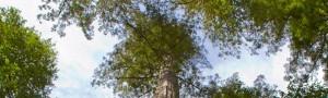 Ejemplar de Sequoia sempervirens. / Brian Gratwicke (WIKIMEDIA COMMONS)  Ejemplar de Sequoia sempervirens. / Brian Gratwicke (WIKIMEDIA COMMONS)